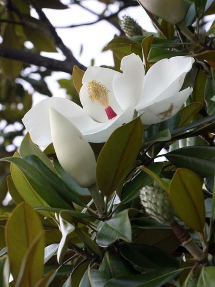 タイサンボク お花の写真集
